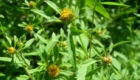 Череда при аллергическом дерматите
