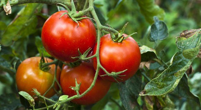 Аллергия на помидорную ботву симптомы