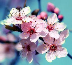 Цветы персикового дерева