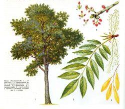 Информация о дереве ясень