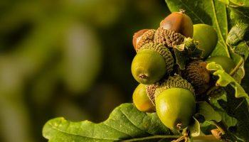 Аллергия на дуб и желуди