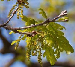 Цветущий дуб