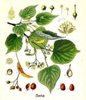 Листья, цветы и семена липы