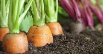 Миниатюра к статье Держите хвост морковкой даже при аллергии на морковь
