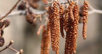 Миниатюра к статье Аллергия на ольху: симптомы, перекрестная реактивность