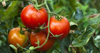 Миниатюра к статье Аллергия на томаты - это вам не синьор Помидор