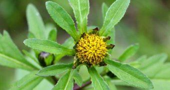 Миниатюра к статье Череда от аллергии - эффективное и безопасное средство